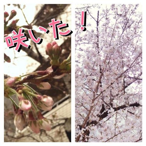 2017年 桜.JPG