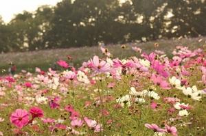 秋桜.jpgのサムネール画像のサムネール画像