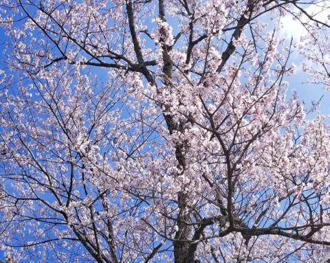 4月 伊勢の桜.png