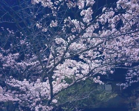 4月 夜桜.jpg